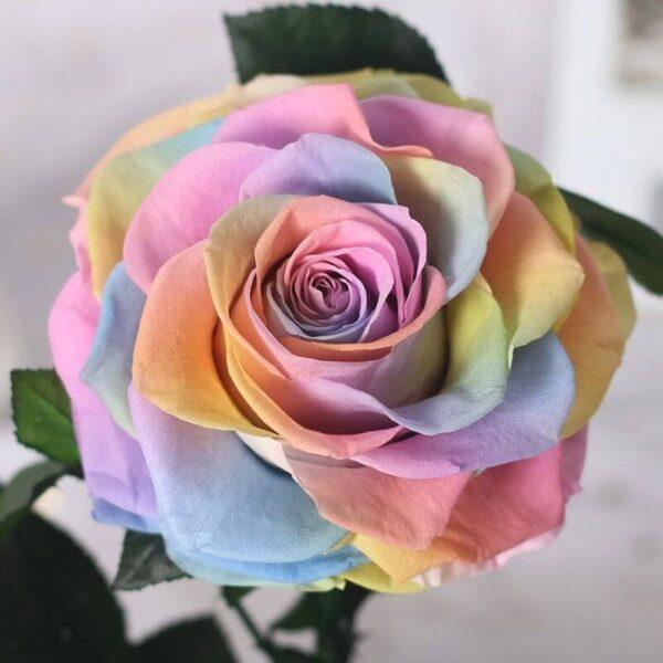 Rose multicolre éternelle