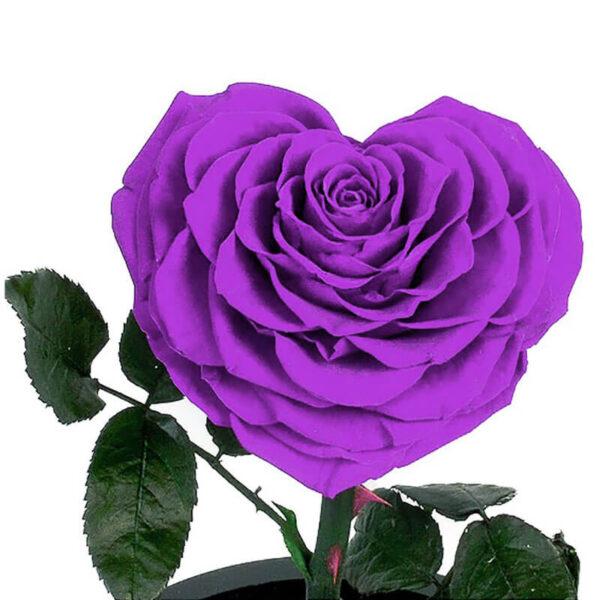 Rose Violette éternelle sous cloche