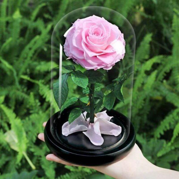 Vrai rose éternelle sous cloche
