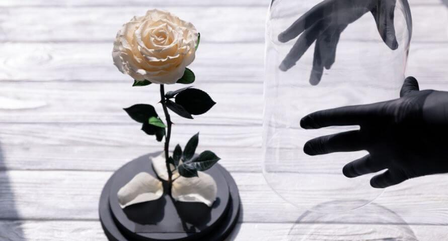 Pétales de roses lyophilisés